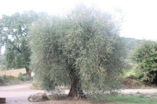 sant'antimo olivi carichi di olive (10)