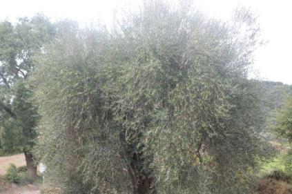 sant'antimo olivi carichi di olive (11)