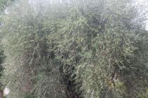 sant'antimo olivi carichi di olive (12)