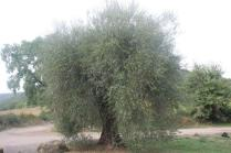 sant'antimo olivi carichi di olive (13)