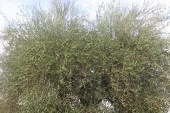sant'antimo olivi carichi di olive (14)