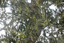 sant'antimo olivi carichi di olive (2)