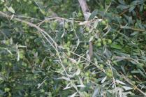 sant'antimo olivi carichi di olive (23)