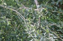 sant'antimo olivi carichi di olive (24)