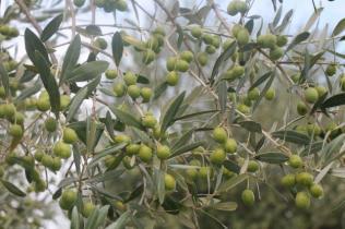 sant'antimo olivi carichi di olive (27)