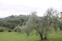 sant'antimo olivi carichi di olive (29)
