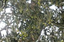 sant'antimo olivi carichi di olive (3)
