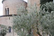 sant'antimo olivi carichi di olive (31)