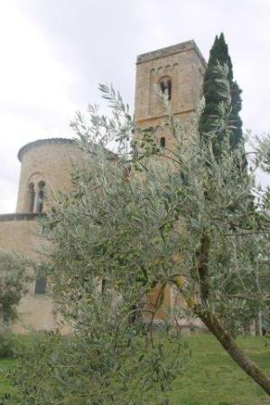 sant'antimo olivi carichi di olive (32)