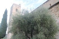 sant'antimo olivi carichi di olive (4)