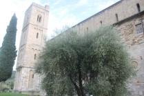 sant'antimo olivi carichi di olive (5)