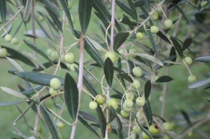 sant'antimo olivi carichi di olive (6)