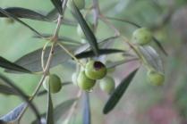 sant'antimo olivi carichi di olive (7)