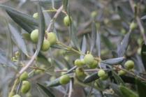 sant'antimo olivi carichi di olive (9)