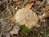 bosco, chianti, autunno, funghi, vertine, castagne (12)