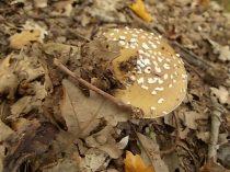 bosco, chianti, autunno, funghi, vertine, castagne (15)