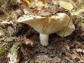 bosco, chianti, autunno, funghi, vertine, castagne (17)