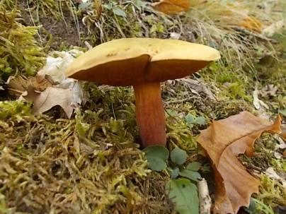 bosco, chianti, autunno, funghi, vertine, castagne (20)