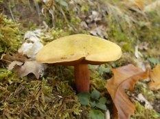 bosco, chianti, autunno, funghi, vertine, castagne (21)