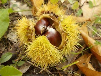 bosco, chianti, autunno, funghi, vertine, castagne (24)