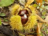 bosco, chianti, autunno, funghi, vertine, castagne (26)