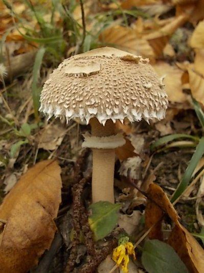 bosco, chianti, autunno, funghi, vertine, castagne (29)