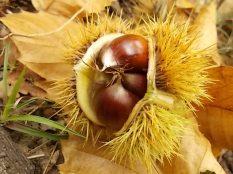 bosco, chianti, autunno, funghi, vertine, castagne (30)