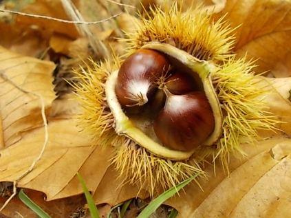 bosco, chianti, autunno, funghi, vertine, castagne (31)