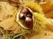 bosco, chianti, autunno, funghi, vertine, castagne (32)