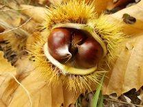bosco, chianti, autunno, funghi, vertine, castagne (33)