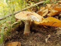 bosco, chianti, autunno, funghi, vertine, castagne (35)