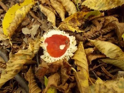 bosco, chianti, autunno, funghi, vertine, castagne (4)