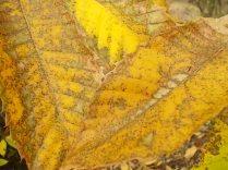 bosco, chianti, autunno, funghi, vertine, castagne (45)