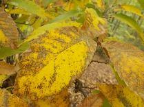 bosco, chianti, autunno, funghi, vertine, castagne (46)