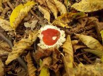 bosco, chianti, autunno, funghi, vertine, castagne (5)