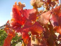 foglie di canaiolo (1)