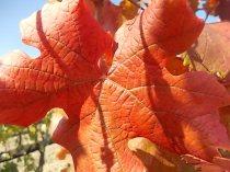 foglie di canaiolo (2)