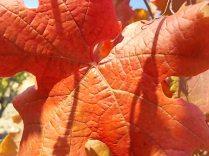 foglie di canaiolo (3)