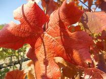 foglie di canaiolo (4)