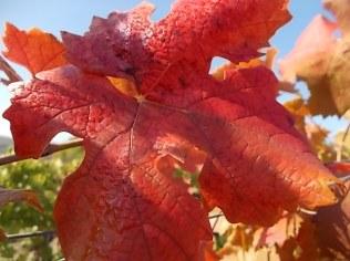 foglie di canaiolo (5)