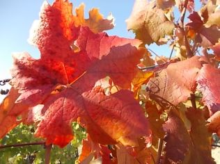 foglie di canaiolo (6)