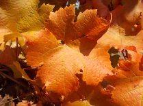 foglie di canaiolo (7)
