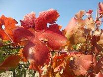 foglie di canaiolo (8)