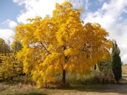 foglie di noce (2)