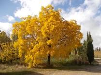 foglie di noce (3)