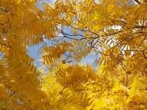 foglie di noce (5)