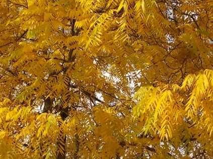 foglie di noce (6)