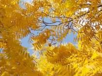 foglie di noce