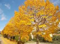 tiglio-giallo-autunno