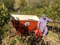 vendemmia vertine 2019 (15)